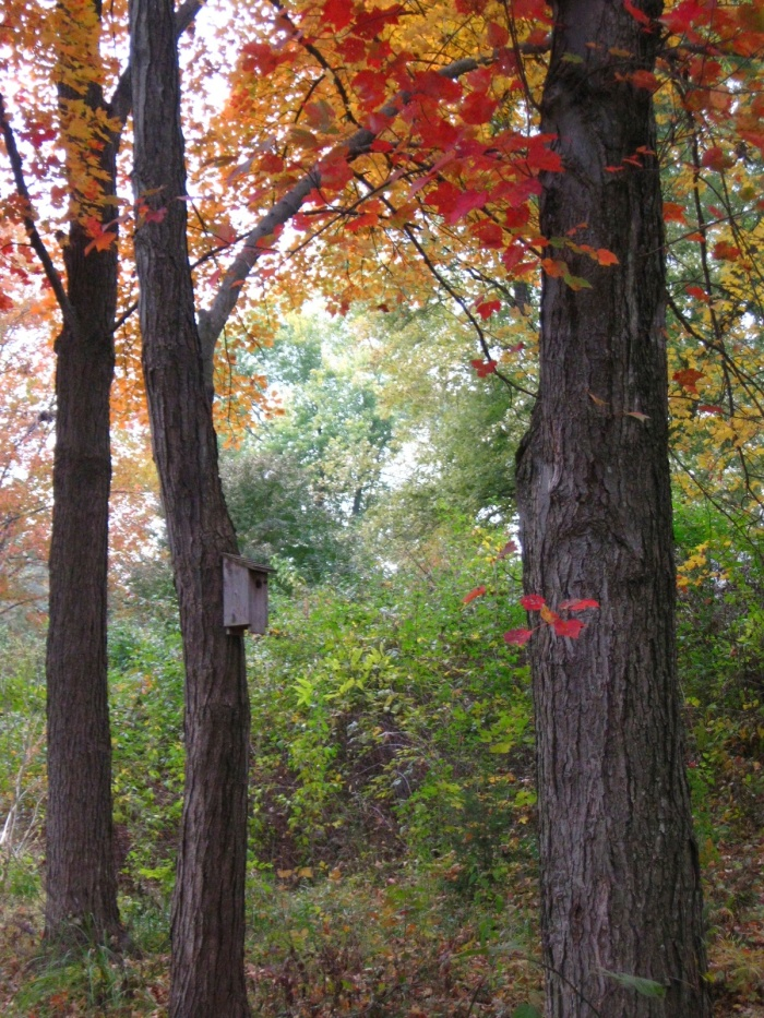 Someone has put up a birdhouse. I see bright red cardinals flying around it, blending in with the colors of their surroundings, for once.