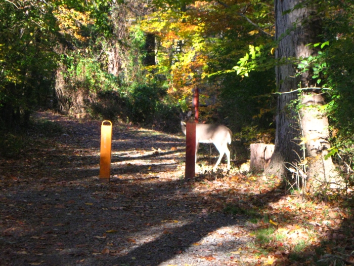 When she thinks we're gone, she decides to cross the trail and see what the neighbors have growing in their back yard. Oh deer, you're going to get yourself in trouble this time.