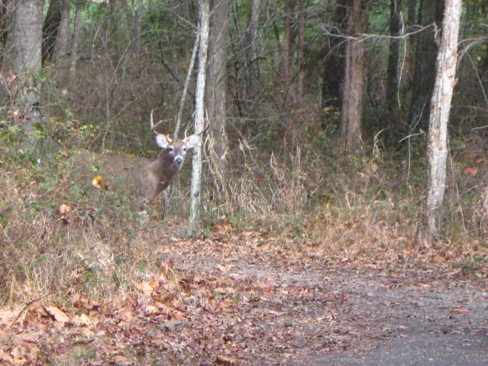 Look both ways before crossing the trail, Mr. Stag