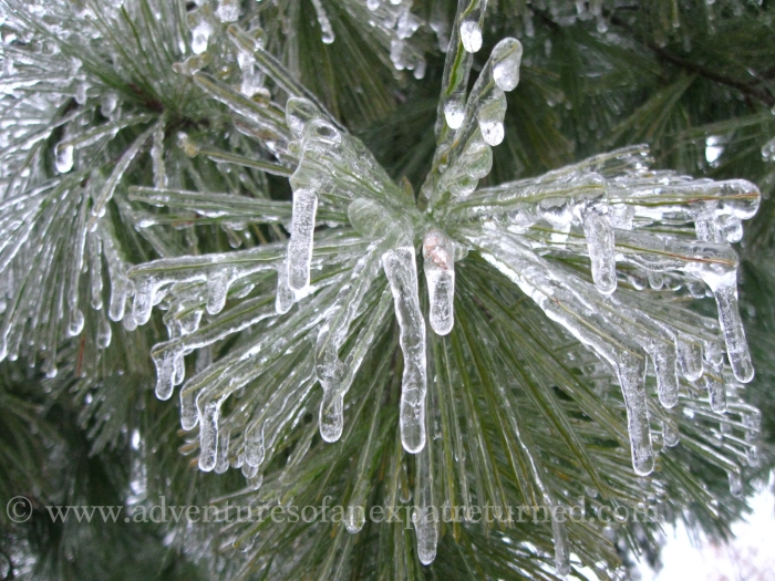 The pines have dressed their every needle in a coating of ice