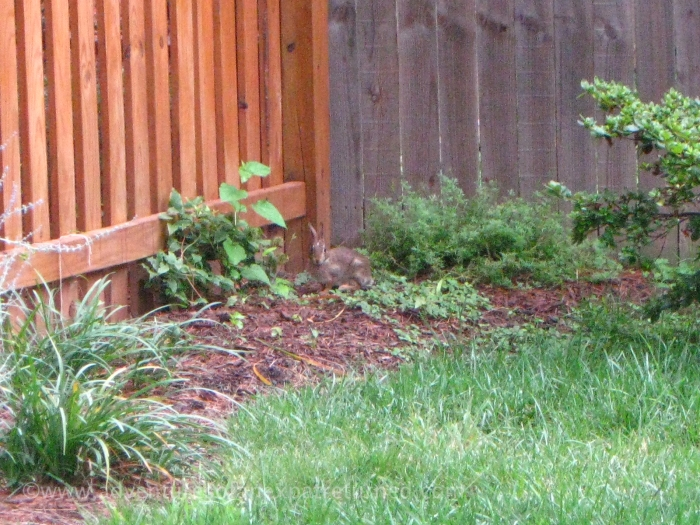 One of our two wild rabbits. They rarely venture far from the protection of the backyard fence.