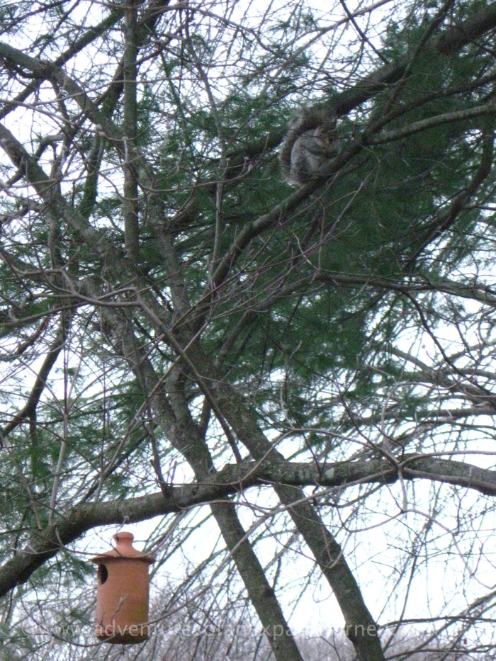 The squirrels feel safe from birds of prey when perched in the branches of the trees (they've built a nest high on top of our pine)