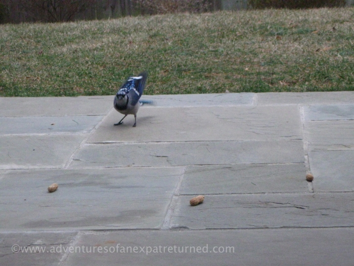 This blue jay is one of a bold pair that comes right up onto the porch to snatch peanuts from under the squirrels' noses.