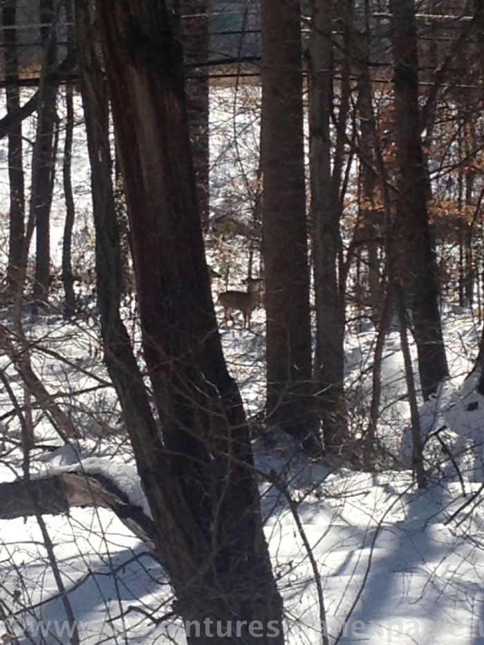 This straggler and a couple others were busy stripping the bark from trees. It's been a hard winter for our local deer.