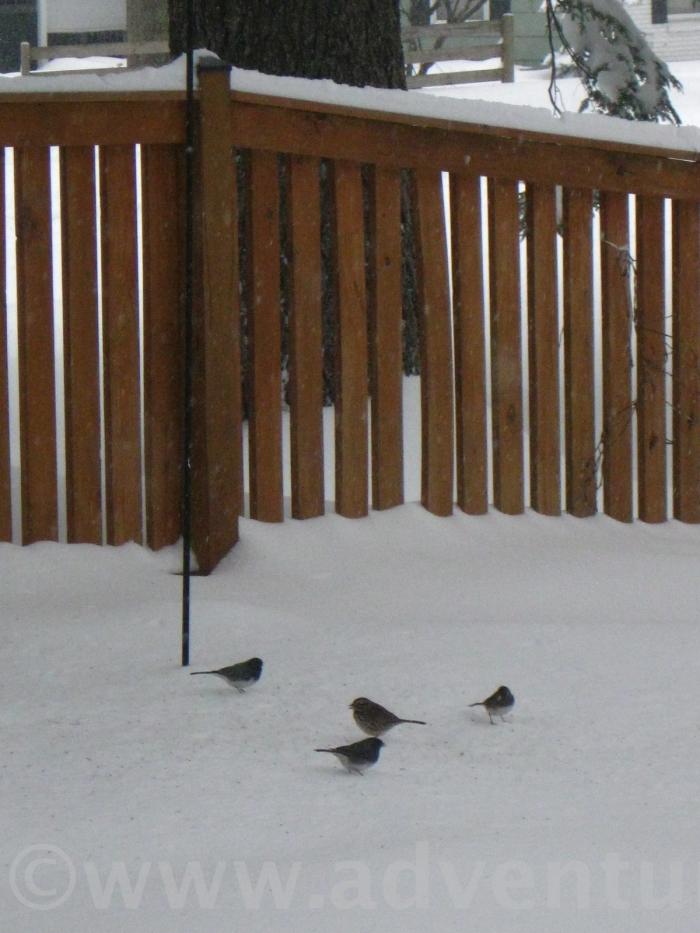 Under the bird feeder, the ground feeders clean up the fallen seeds