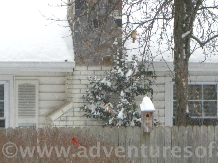 Two in the bush: a male and female cardinal wait their turn at the bird feeder