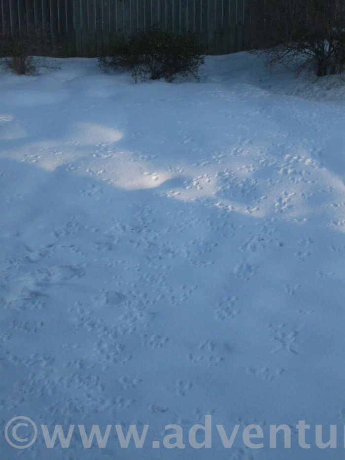 Squirrel prints on the snow. They've discovered the pile of peanuts we put out on the porch before going to bed last night.
