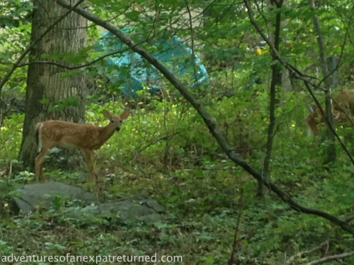 A rather blurry close-up of one of my neighborhood fawns, but still worth posting, I thought. They're growing up fast.